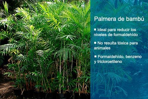 Las mejores plantas purificadoras de aire para casa Palmera de bambú