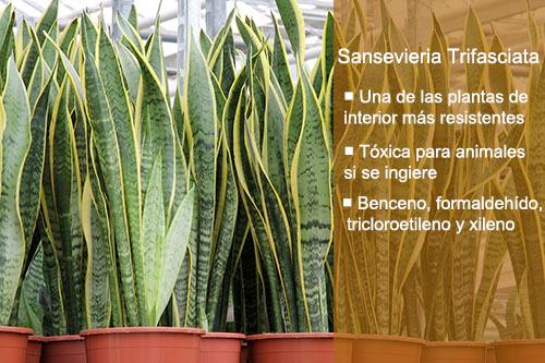 Plantas purificadoras de aire para casa Sansevieria Trifasciata
