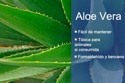 Las mejores plantas de interior para purificar el aire Aloe Vera