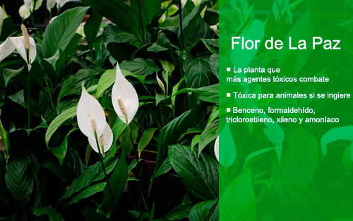 Las mejores plantas de interior para purificar el aire flor de la paz