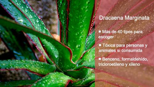 Las mejores plantas de interior para purificar el aire Dracaena Marginata