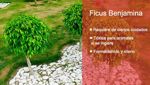 Las mejores plantas de interior para purificar el aire Ficus benjamina